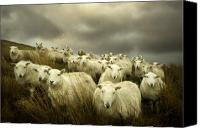 Sheep Photo Canvas Prints - Welsh lamb Canvas Print by Angel  Tarantella
