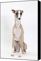 Whippet Canvas Prints - Whippet Canvas Print by Mark Taylor