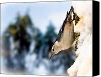 Animal Canvas Prints - White Breasted Nuthatch In The Snow Canvas Print by Bob Orsillo