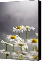 Vegetation Canvas Prints - White Daisies Canvas Print by Carlos Caetano