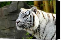 Stripped Cat Canvas Prints - White Tiger Canvas Print by David Lee Thompson
