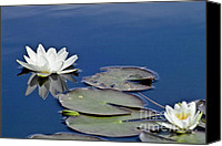 Lotus Pond Canvas Prints - White Water Lily Canvas Print by Heiko Koehrer-Wagner