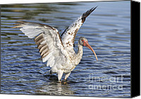 Ibis Canvas Prints - Wings Up Canvas Print by Deborah Benoit