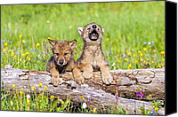 Wolf Cubs Canvas Prints - Wolf Cubs On Log Canvas Print by John Pitcher