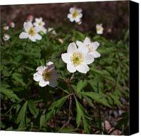 Thimbleweed Canvas Prints - Wood anemone Canvas Print by Jouko Lehto