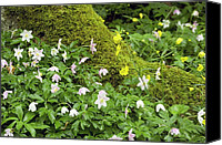 Thimbleweed Canvas Prints - Wood Anemones (anemone Nemorosa) Canvas Print by Bob Gibbons