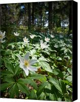 Thimbleweed Canvas Prints - Wood anemones Canvas Print by Jouko Lehto
