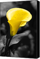 Calla Lily Canvas Prints - Yellow Calla Canvas Print by Laura Zirino