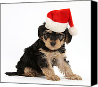 Father Christmas Canvas Prints - Yorkipoo Pup Wearing Christmas Hat Canvas Print by Mark Taylor