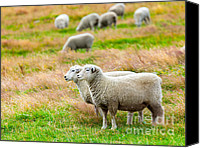 Sheep Photo Canvas Prints - Sheeps Canvas Print by MotHaiBaPhoto Prints