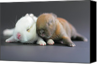 Two Animals Canvas Prints - 11 Day Old Bunnies Canvas Print by Copyright Crezalyn Nerona Uratsuji