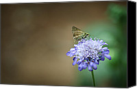 Arkansas Canvas Prints - 1205-8785 Skipper on a Butterfly Blue Pincushion Flower Canvas Print by Randy Forrester