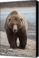 Approaching Canvas Prints - Grizzly Bear Ursus Arctos Horribilis Canvas Print by Matthias Breiter