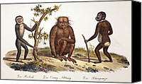 Ancestor Canvas Prints - 1824 Schinz Apes, Gibbon, Orang, Chimp Canvas Print by Paul D Stewart