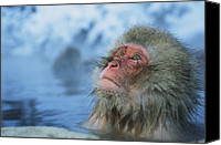 Monkeys Canvas Prints - A Japanese Macaque, Or Snow Monkey Canvas Print by Tim Laman