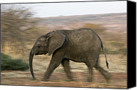 Elephant Running Canvas Prints - African Elephant Canvas Print by Tony Camacho