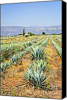 Arid Canvas Prints - Agave cactus field in Mexico Canvas Print by Elena Elisseeva
