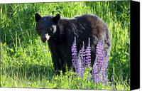 Lupines Canvas Prints - Black Bear in the lupines Whistler Canada Canvas Print by Pierre Leclerc