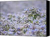 Blandford Canvas Prints - Borage (borago Officinalis) Canvas Print by Adrian Bicker