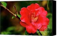 Camelia Canvas Prints - Camellia japonica Canvas Print by Gaspar Avila