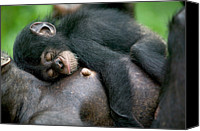 Chimpanzee Photo Canvas Prints - Chimpanzee Pan Troglodytes Adult Female Canvas Print by Cyril Ruoso