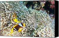 Amphiprion Bicinctus Canvas Prints - Clown Fish Canvas Print by Alexis Rosenfeld
