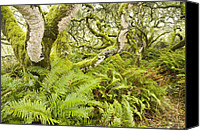 Quercus Canvas Prints - Coast Live Oak Trees And Sword Ferns Canvas Print by Sebastian Kennerknecht