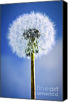Dreamy Flower Canvas Prints - Dandelion Canvas Print by Elena Elisseeva