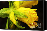 Rip Van Winkle Daffodil Canvas Prints - Dew on Double Daffodil Canvas Print by Thomas R Fletcher