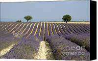 Lavender Canvas Prints - Field of lavender. Provence Canvas Print by Bernard Jaubert