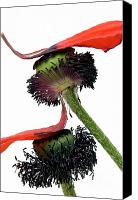 Blossoming Canvas Prints - Flower poppy in studio Canvas Print by Bernard Jaubert