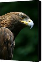 Eagle Watching Canvas Prints - Golden Eagles Face Aquila Chrysaetos Canvas Print by Deddeda