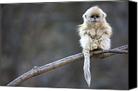 Animals And Earth Canvas Prints - Golden Snub-nosed Monkey Rhinopithecus Canvas Print by Cyril Ruoso