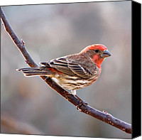Finches Canvas Prints - House Finch Canvas Print by Betty LaRue