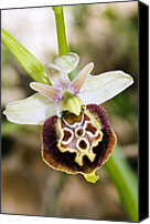 Flowers   Spider Canvas Prints - Late Spider Orchid (ophrys Fuciflora) Canvas Print by Paul Harcourt Davies