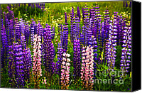 Canada Canvas Prints - Lupin flowers in Newfoundland Canvas Print by Elena Elisseeva