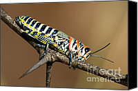 Grasshopper Canvas Prints - Painted grasshopper Canvas Print by Cristina Lichti