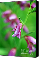 Purples Canvas Prints - Pink flowers of Gladiolus Communis Canvas Print by Frank Tschakert