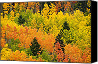 Pinus Ponoderosa Canvas Prints - Quaking Aspen And Ponderosa Pine Trees Canvas Print by Ralph Lee Hopkins