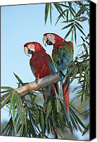 Red And Green Canvas Prints - Red And Green Macaw Ara Chloroptera Canvas Print by Konrad Wothe