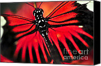 Bugs Canvas Prints - Red heliconius dora butterfly Canvas Print by Elena Elisseeva