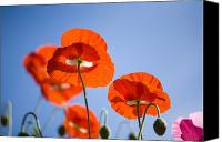 Poppy Petals Canvas Prints - Shirley Poppies Canvas Print by Craig Tuttle