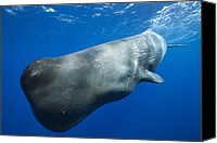 Whale Canvas Prints - Sperm Whale Caribbean Sea Dominica Canvas Print by Reinhard Dirscherl