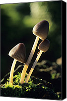 Toadstools Canvas Prints - Toadstools Canvas Print by David Aubrey