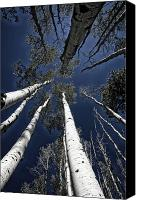 Reaching Canvas Prints - Towering Aspens Canvas Print by Timothy Johnson