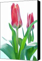 Two Red Tulips Canvas Prints - Tulips (tulipa Sp.) Canvas Print by Lawrence Lawry