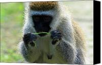 Primates Canvas Prints - Vervet Monkey Canvas Print by Aidan Moran