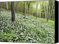 Blandford Canvas Prints - Wild Garlic (allium Ursinum) Canvas Print by Adrian Bicker
