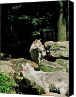 Wolf Photo Shot Canvas Prints - The Wild Wolve Group A Canvas Print by Debra     Vatalaro