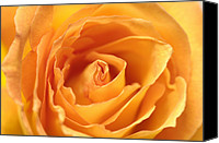 Peach Colored Canvas Prints - A Peach-colored Rose Rosaceae Canvas Print by Joel Sartore